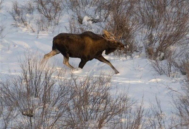 В Тверской области двух браконьеров отправят под суд за незаконный отстрел лося
