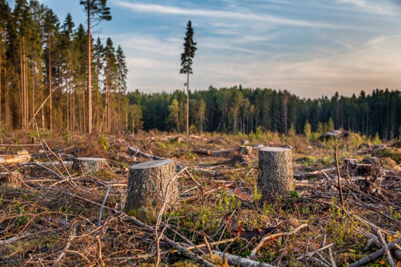 В Тверской области незаконно спилили 19 деревьев