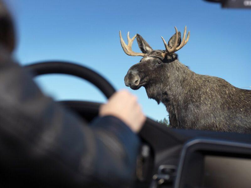 В Тверской области водитель ночью сбил лося