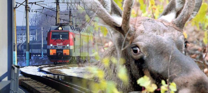 Поезд сбил лося недалеко от Твери