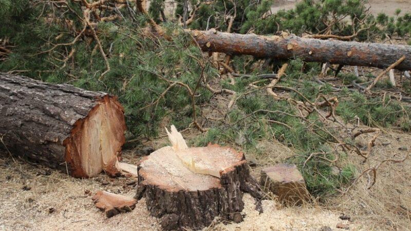 В Тверской области поймали охотника за деревьями