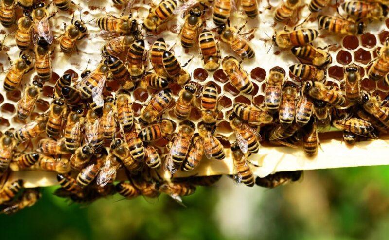 Россельхознадзор рассказал о том, как правильно разводить и ухаживать за пчелами
