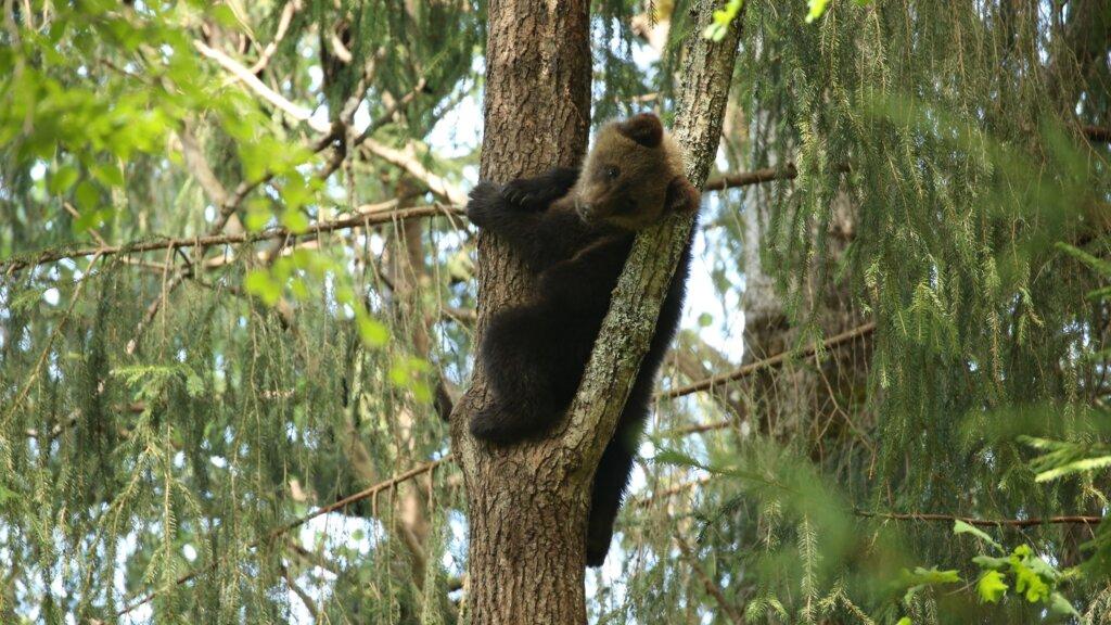В Центре спасения медвежат-сирот показали подросших косолапых