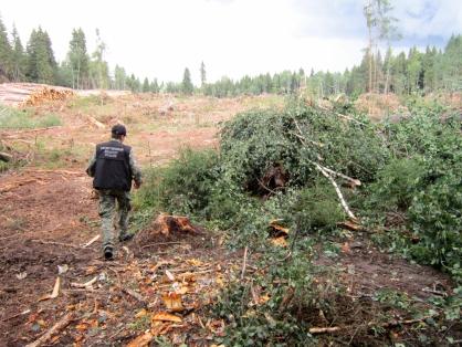 В Тверсской области мужчину насмерть задавило упавшее дерево