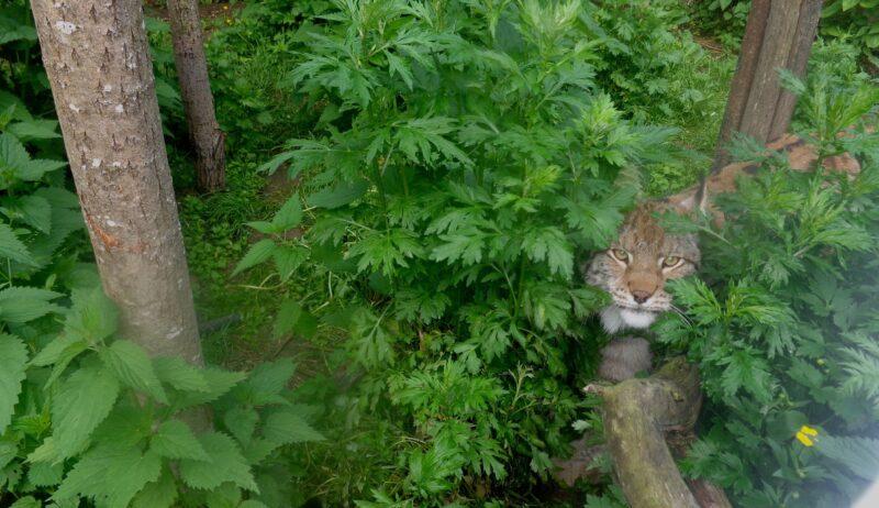 Благодаря неравнодушным жителям Тверской области рыси будут жить в комфорте