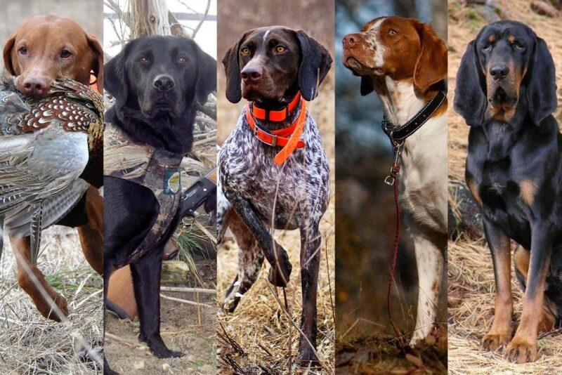 В Твери пройдёт выставка собак охотничьих пород