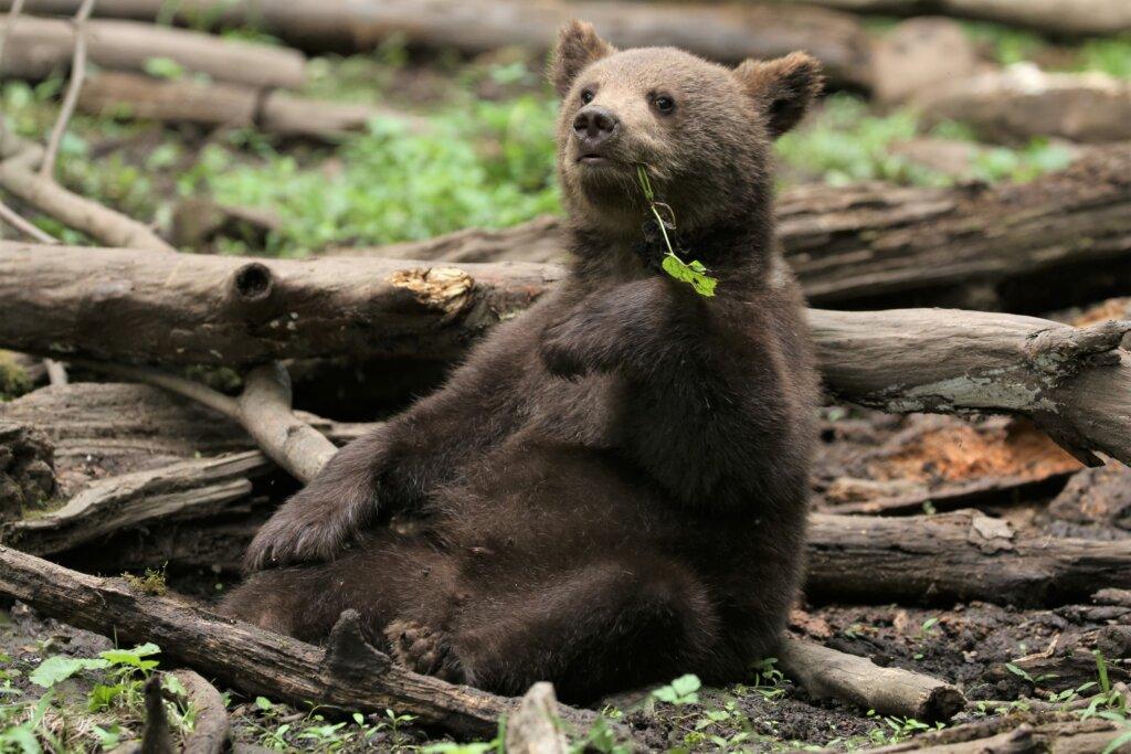 «Весёлые старты» медвежат-сирот из центра спасения Тверской области попали на видео