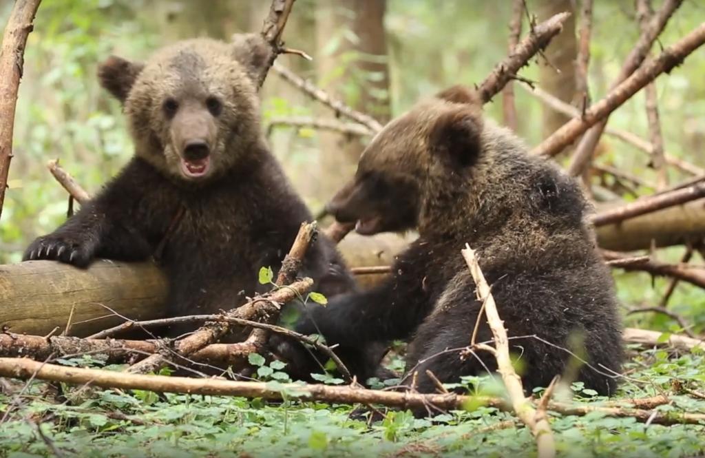 В Центре спасения медвежат сирот показали играющих косолапых