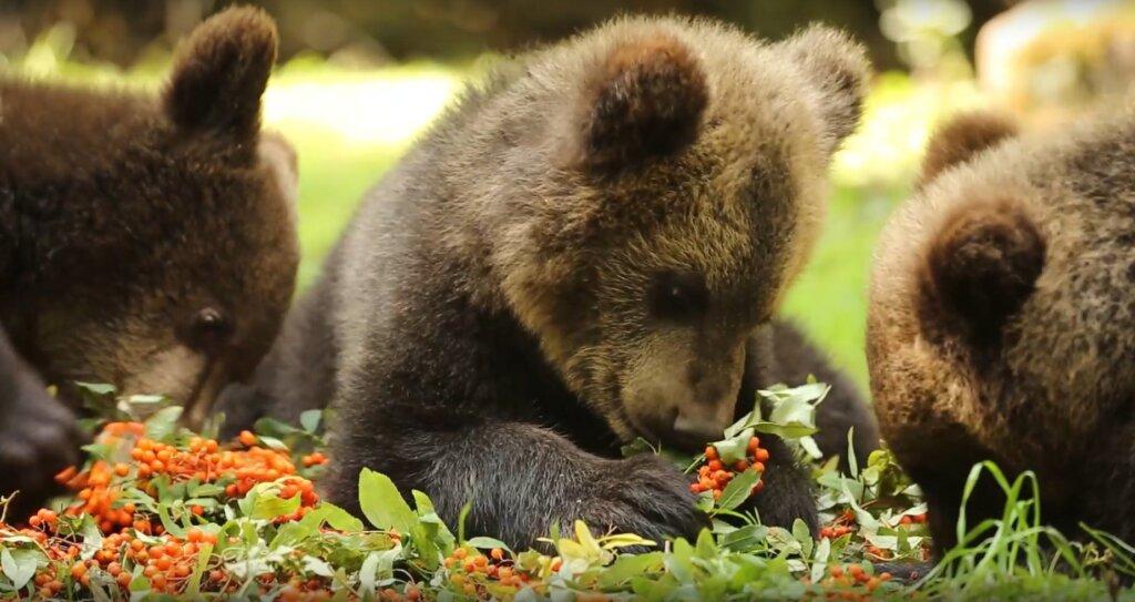 В Центре спасения медвежат-сирот показали, как косолапые лакомятся рябиной