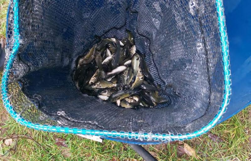 В Угличское водохранилище выпустили больше 40 тысяч рыб