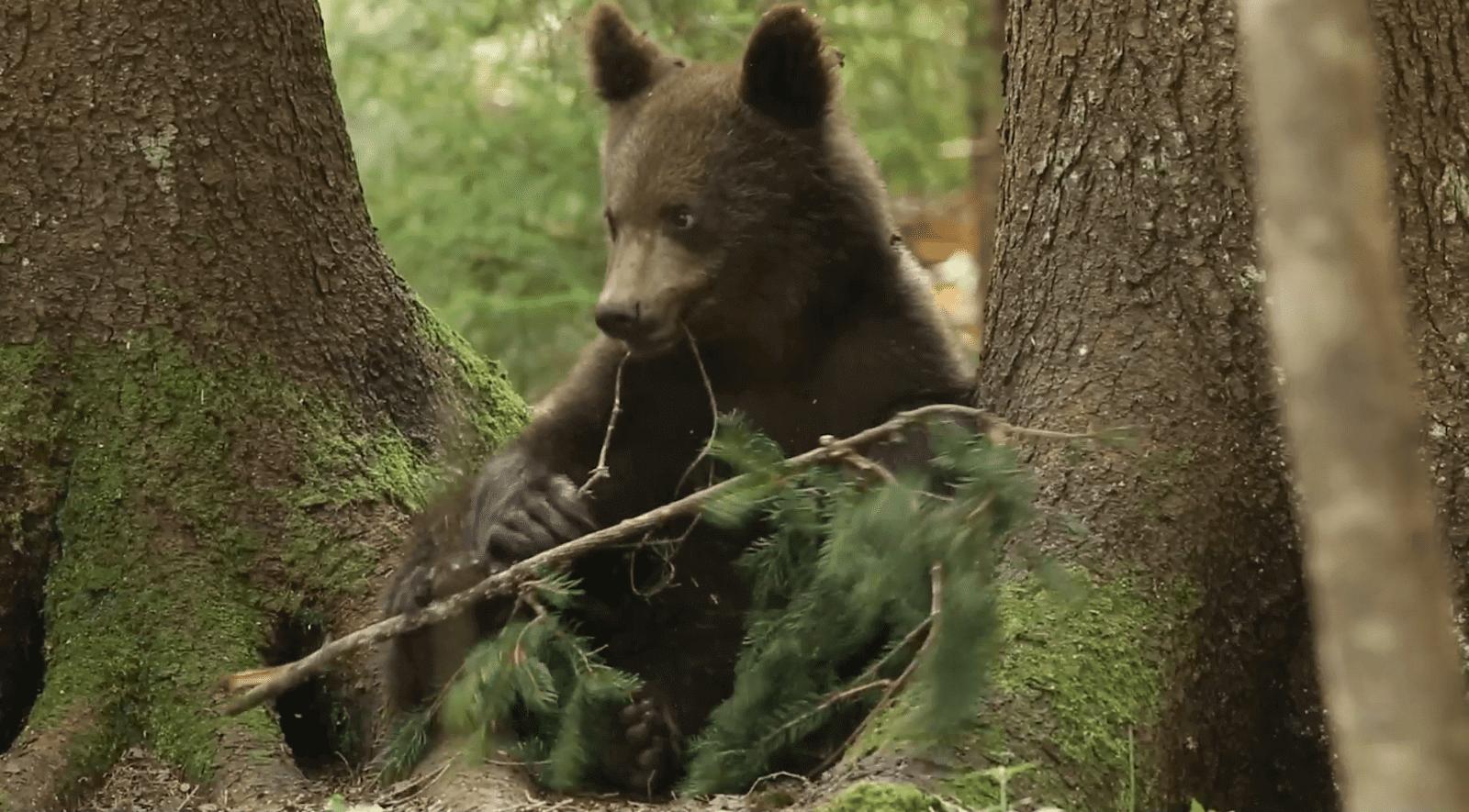 В Центре спасения медвежат-сирот засняли игру маленького косолапого