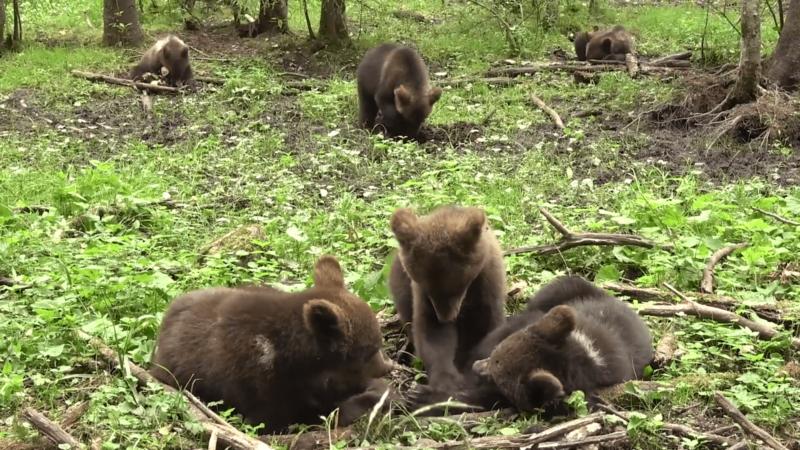 В Тверской области запечатлели досуг медвежат-сирот