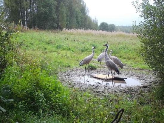 Четыре журавля устроили званый ужин недалеко от деревни Холмец