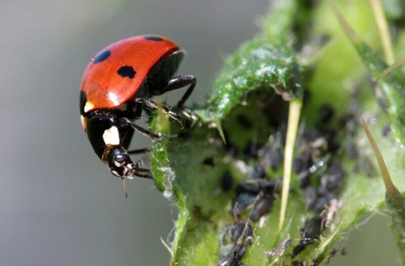 Природные энтомофаги: какие насекомые защищают растения от вредителей