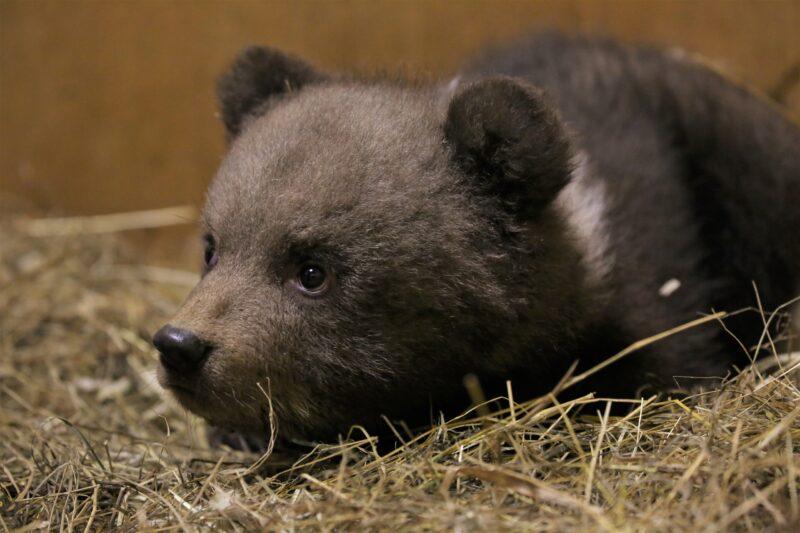 Трех выращенных медвежат в Тверской области выпустили в родной лес