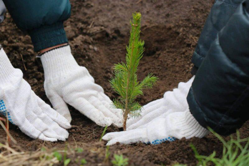 В Тверской области планируется высадить 165 тысяч деревьев в этом году