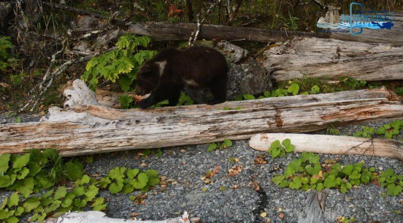 Сотрудники Центра спасения медвежат-сирот помогли коллегам с Алтая