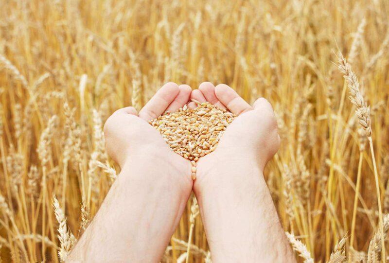 В Тверской области уборка зерна вышла на финишную прямую