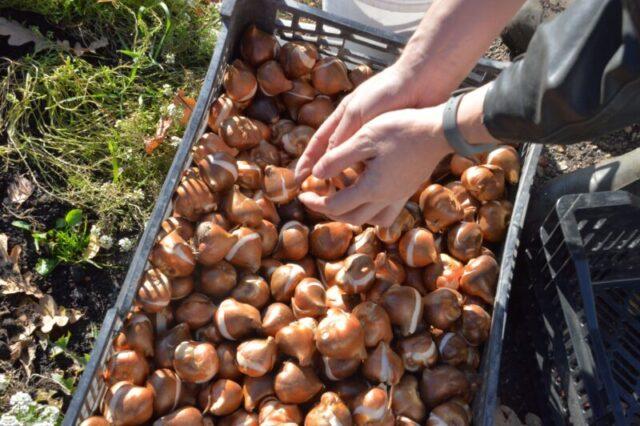До первых заморозков в Твери высадят около 88 тысяч тюльпанов