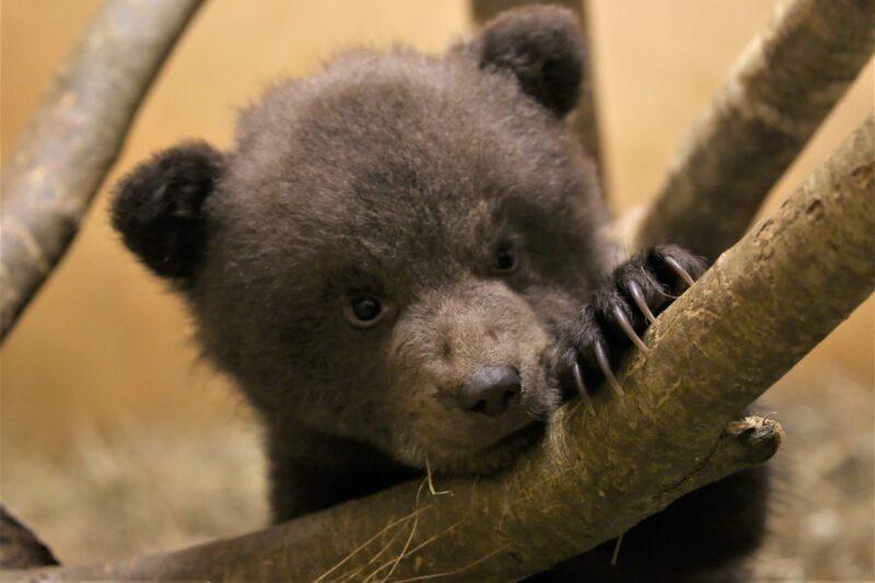 Трех медвежат, которым помогли в Тверской области, выпустили в родные леса